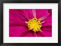 Framed Crimson Pink Cosmos Flower