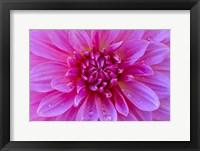 Framed Fuchia-Pink Dahlia