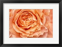 Framed Orange Rose Close Up