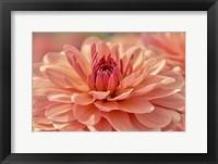 Framed Peach Colored Dahlia Flower