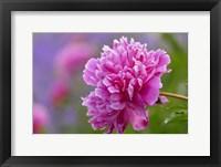 Framed Peony Flower