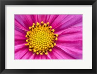 Framed Pink And Yellow Cosmos Flower