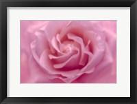 Framed Rose Pink Rose