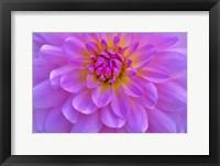 Framed Violet-Pink Dahlia Flower
