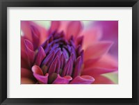 Framed Dahlia Centre Pink Purple