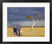 Framed Elephant Walking