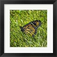 Framed Monarch