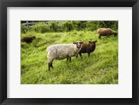 Framed Peeping Sheep