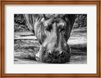 Framed Hippo - Black & White