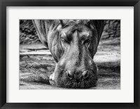 Framed Hippo - Black & White