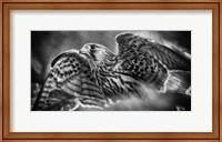Framed Predator Bird Spreading it's Wings - Black & White