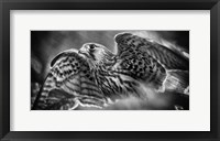 Framed Predator Bird Spreading it's Wings - Black & White