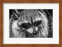 Framed Raccoon - Black & White