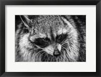 Framed Raccoon - Black & White