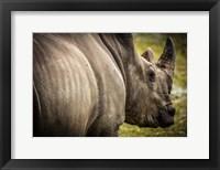 Framed Rhino II