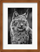 Framed Lynx in the Rain - Black & White