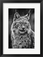 Framed Lynx in the Rain - Black & White