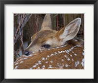 Framed Mule Deer Fawn
