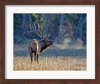 Framed Bull elk