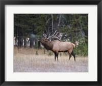 Framed Bull Elk Bugling