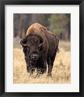 Framed Bull Bison