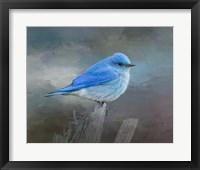 Framed Mountain Bluebird