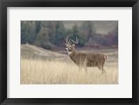 Framed Montana Whitetail Buck III