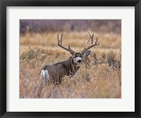Framed Mule Deer Buck II
