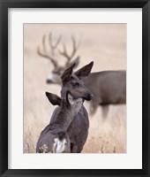 Framed Dark Mule Deer Doe