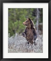Framed Grizzly Two Year Old