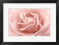 Framed Dewy Rose