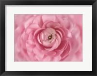 Framed Persian Pink Buttercup