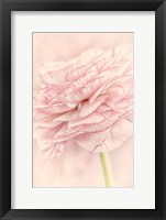 Framed Edged Ranunculus
