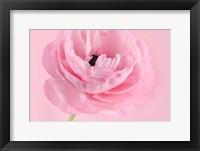 Framed Pink Pink Ranunculus I