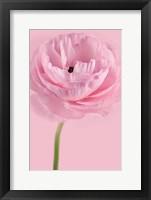 Framed Pink Pink Ranunculus II