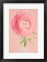 Framed Pink Ranunculus Flower I