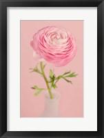 Framed Pink Ranunculus Flower II