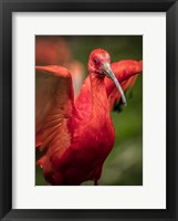 Framed Red Bird III
