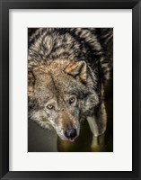 Framed Wolf in the Water