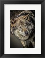 Framed Wolf in the Water II