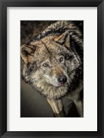 Framed Wolf in the Water II