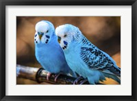 Framed Blue Birds