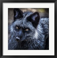 Framed Silver Fox