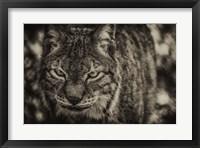 Framed Lynx Front Sepia