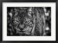 Framed Lynx Front  Black & White