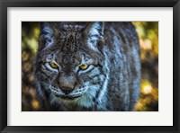 Framed Lynx Front