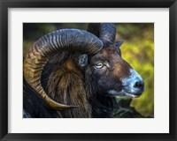 Framed Ram
