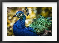 Framed Peacock IIII