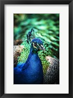 Framed Peacock V