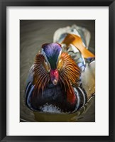 Framed Mandarin Duck II